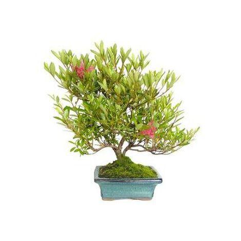 Bonsái Rhododendron indicum sp. 7 años AZALEA