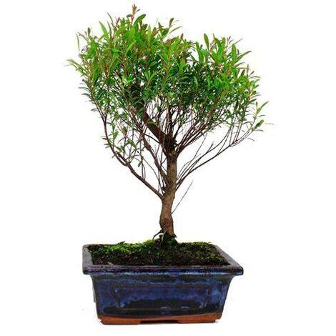 Bonsái Syzigium buxifolium 5 años