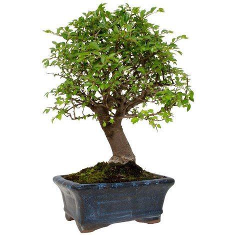 Bonsai zelkova parvifolia 5 años