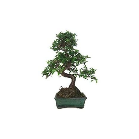 Bonsai zelkova parvifolia 6 años
