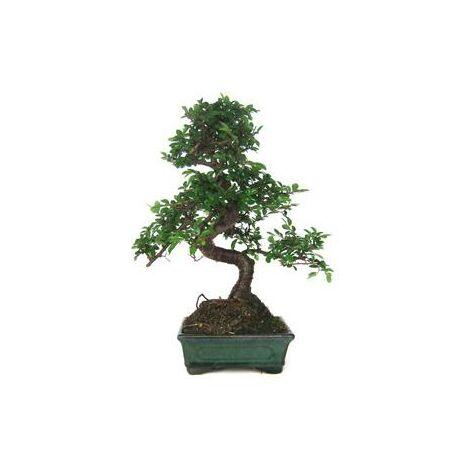 Bonsái Zelkova parvifolia 6 años OLMO CHINO