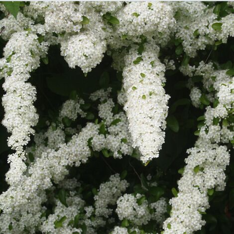 Buisson ardent coccinea Mohave | Godet - 5/20 cm