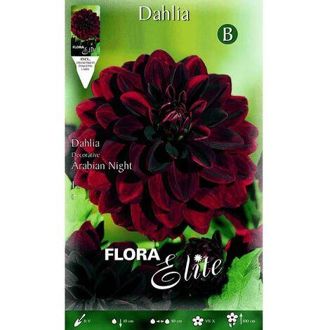 Bulbo Dalia decorativa Rojo terciopelo 1 unidad
