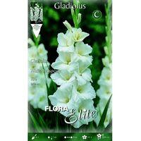 Bulbo Gladiolo blanco puro 10 unidades