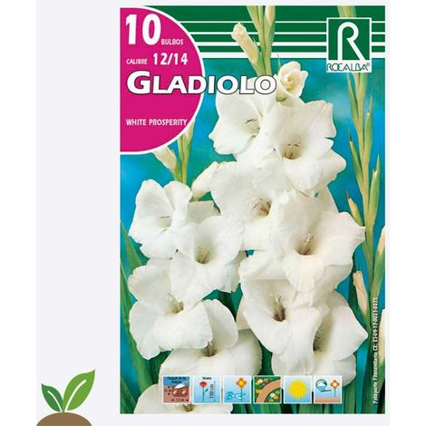 BULBO GLADIOLO WHITE PROSPERITY - 10 UD
