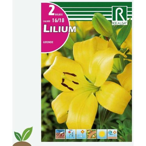 BULBO LILIUM - AZUCENA - LIRIO GIRONDE - 2 UD