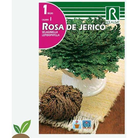 BULBO ROSA DE JERICÓ - 1 UD