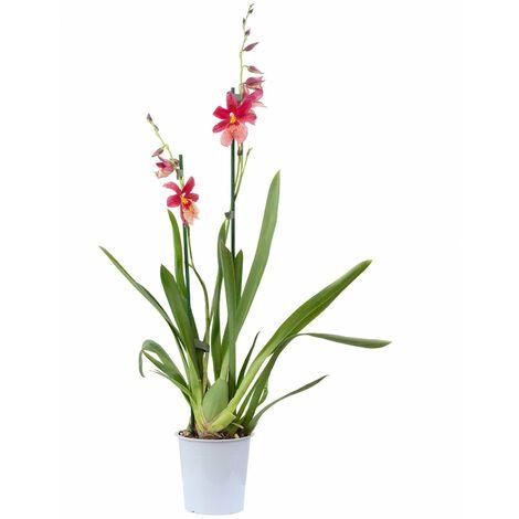 Cambria-Orchidee 2-Trieber rot - Höhe ca. 55 cm, Topf-Ø 12 cm - Cambria Nelly Isler