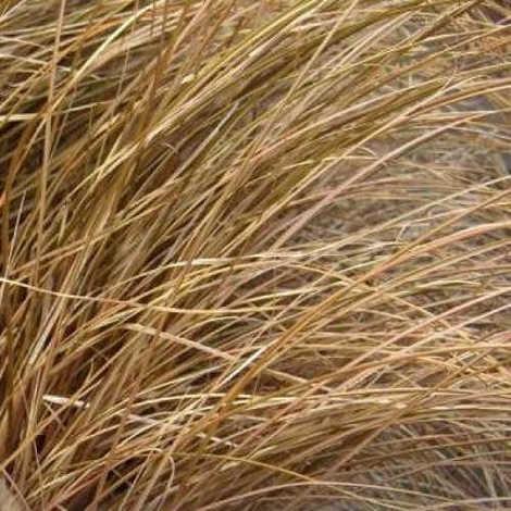 Carex flagelifera - 6Uds. - Maceta de 2Litros