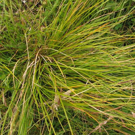 Carex solandrii - 1Ud. - Maceta de 4Litros