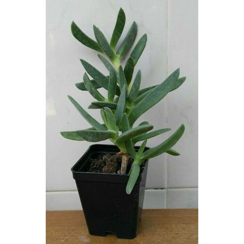 Carpobrotus edulis viola - vaso 7 - pianta succulente fico ...
