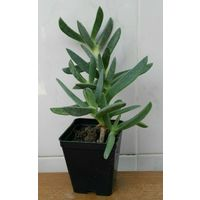 Carpobrotus edulis viola - vaso 7 - pianta succulente fico degli ottentotti