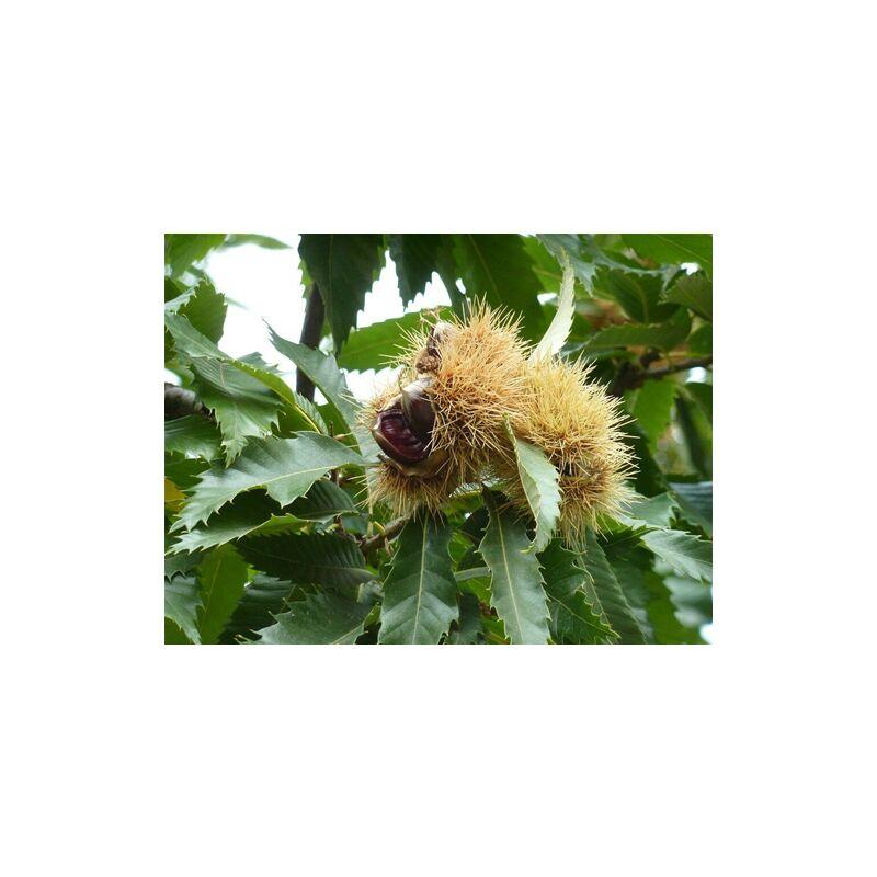 pianta di 2 anni in vaso alta 100//120 cm Castagno comune Castanea sativa