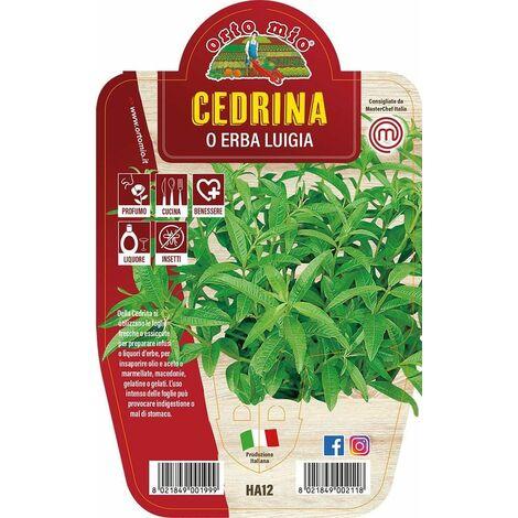 "main image of ""Cedrina o Erba Luigia - 1 pianta vaso 14 cm - Orto Mio"""