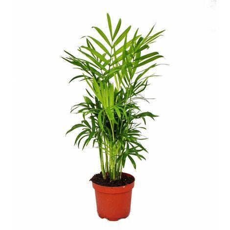"""main image of """"Chamaedorea elegans - palmier d'intérieur - palmier de montagne 9cm pot"""""""
