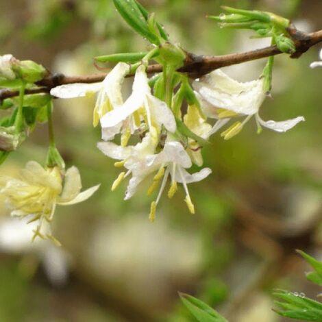 "main image of ""Chèvrefeuille d'Hiver (Lonicera 'Fragrantissima') - Godet - Taille 13/25cm"""