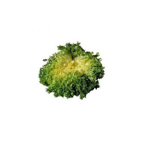 Chicorée frisée grosse pancalière - 3g