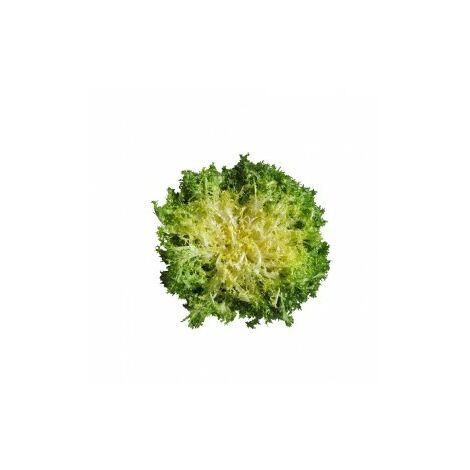 Chicorée frisée Wallonne (à grosses côtes) - 3g