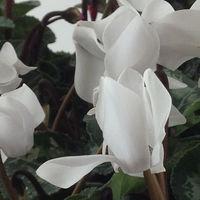 Ciclamino Colore Bianco