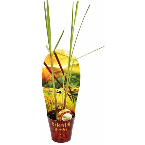 Citronnelle, Cymbopogon citratus, 12cm Pot