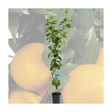 Citrus lemon - Limonero - Cont.16cm - 80cm de altura - (Val)