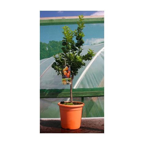 Citrus mirtifolia - Naranjo moruno,enano o chinoto - Cont.25cm - 100cm de altura - (Val)