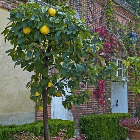 "main image of ""Cognassier Franc (Cydonia Oblonga) - Godet - Taille 30/50cm"""