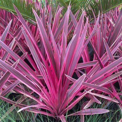 Cordyline Banskii Electric Pink ( Cordilina variegata rosa) FOTO REALI