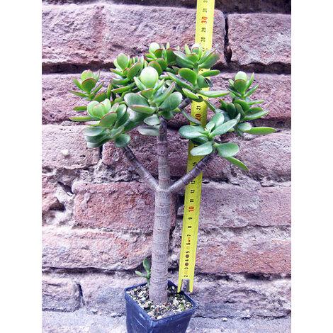 Crassula portulacea cactus, pianta grassa