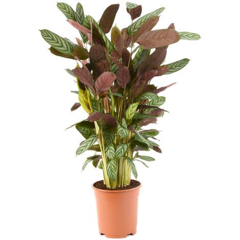 Ctenanthe Compact Star Ø 21 x H.105cm | Offre Duo