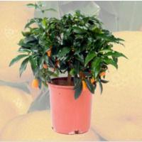 Cumquat - Fortunella marginata Cont.20cm - Arbustivo - 80cm de altura - (Val)