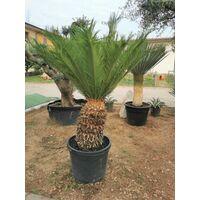 Cycas revoluta cicas palma in vaso h cm 50-60 in vaso diametro cm 24