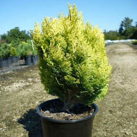 Cyprès de Lawson lawsoniana Minima Aurea | Pot de 3L - 20/40 cm