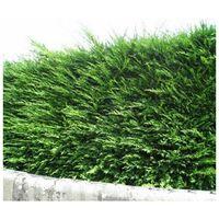 Cyprès de Leyland (Cupressocyparis Leylandii) - Godet - Taille 20/40cm