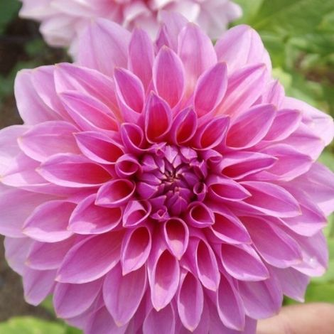 Dahlia Lucky Number - Dalia (1 BULBO)
