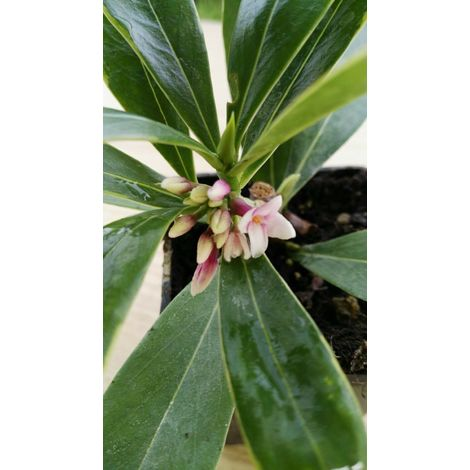 Daphne pianta cespuglio dafne - vaso 7cm - arredo giardino balcone