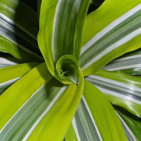 Dracaena fragans - Maceta de 20cm - Tronco 15,30 y 60cm