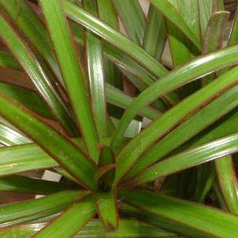 Dracaena marginata - Maceta de 20cm - Tronco 13,30 y 60cm