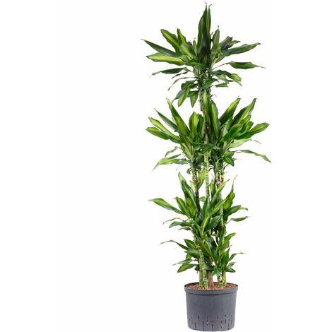 Drachenbaum in Hydrokultur - Höhe ca. 140 cm, Topf-Ø 25 cm - Dracaena cintho