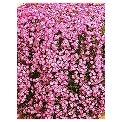 Drosanthemum Hispidum (Barba di Giove) vaso 18cm