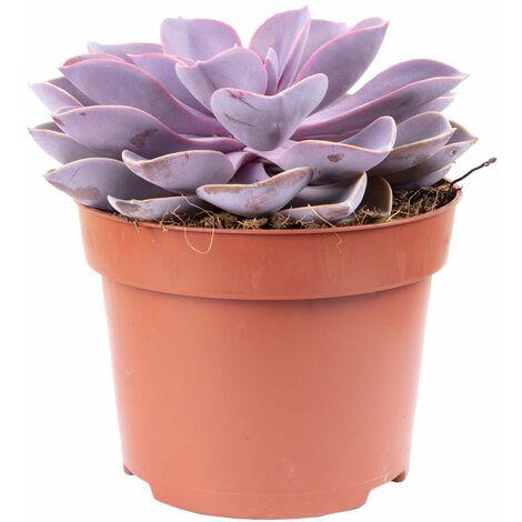 Echeverie - Höhe ca. 20 cm, Topf-Ø 12 cm - Echeveria purple pearl