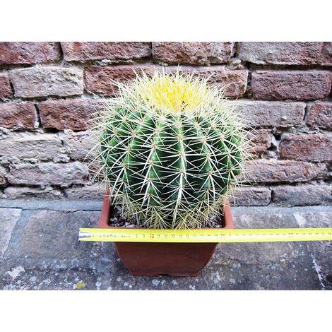 """main image of """"Echinocactus grusonii 25 cm, cactus, pianta grassa"""""""