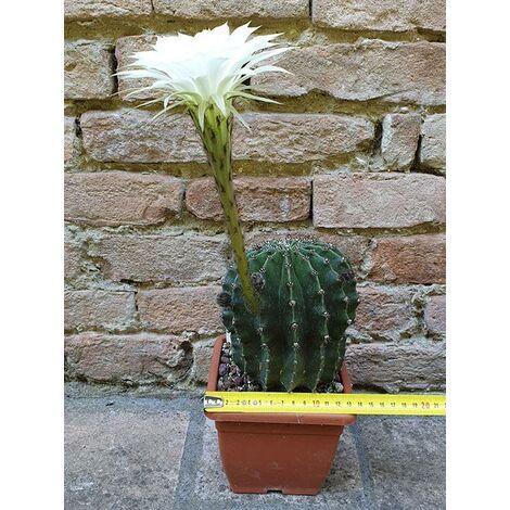 Echinopsis oxygona hybrid. fiore bianco 12 cm, cactus, pianta grassa