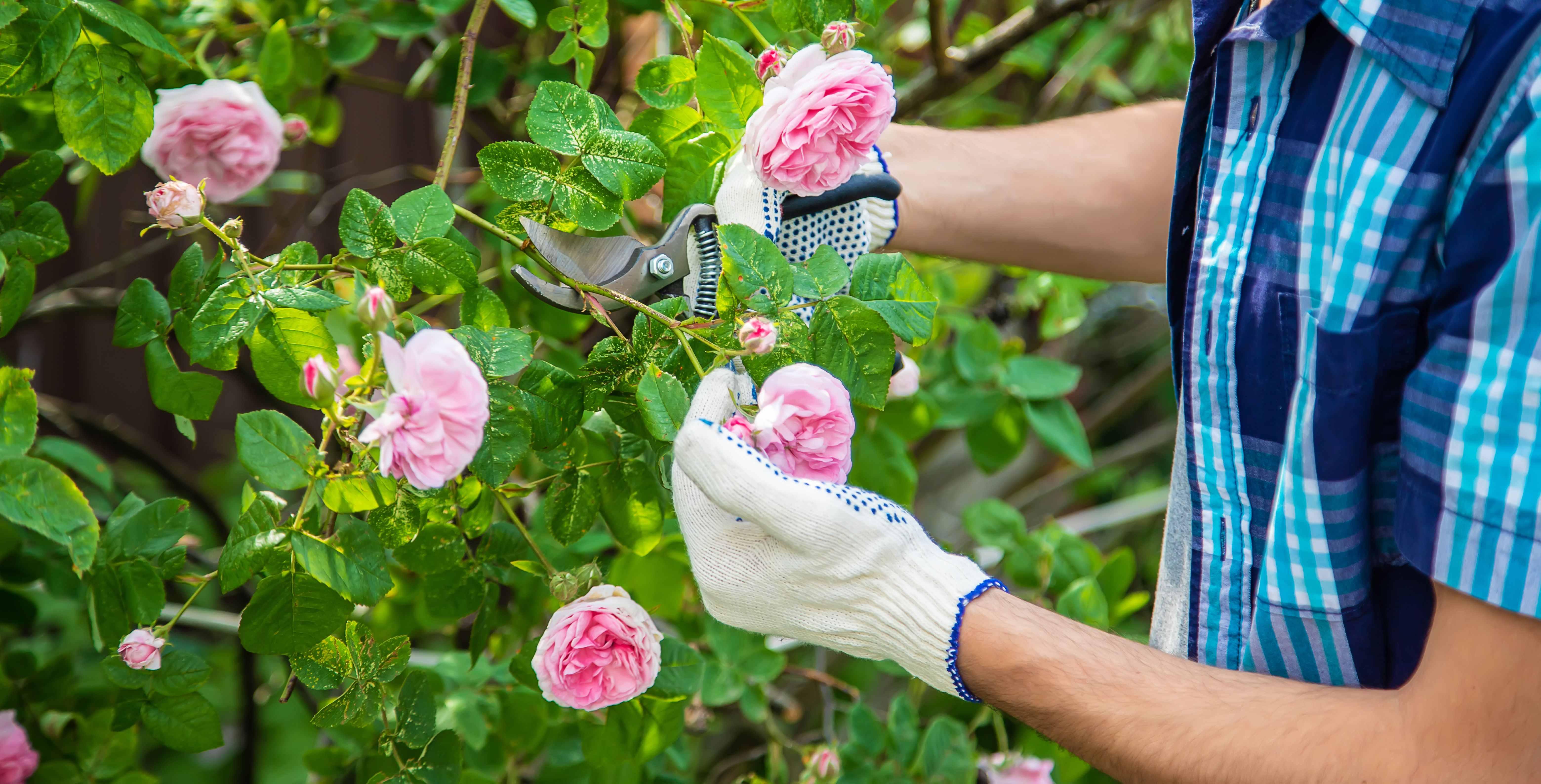 Come scegliere una pianta di rose