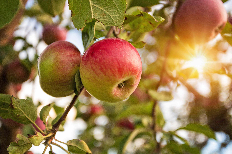 Les principaux  arbres fruitiers