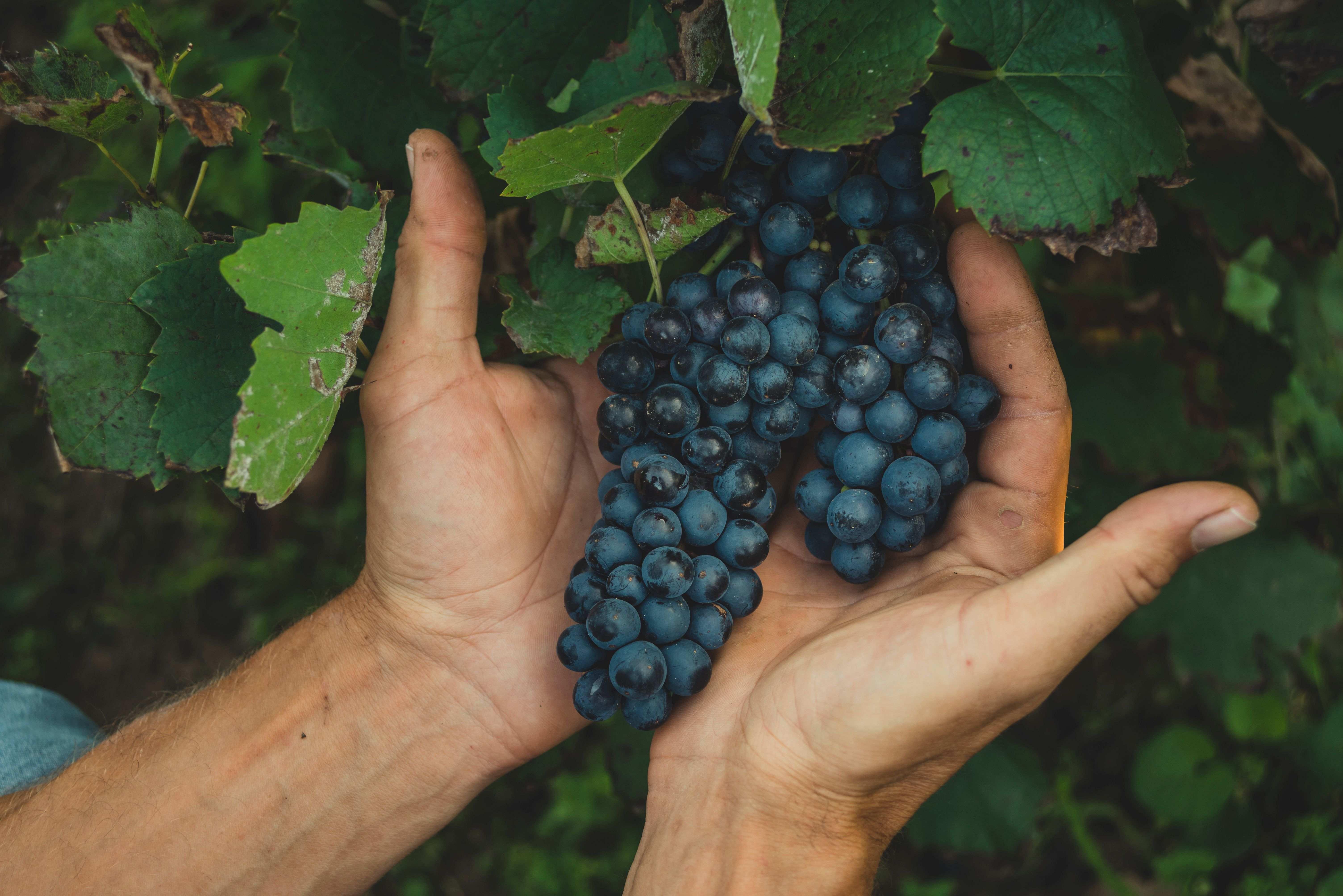 Comment choisir et planter  un pied de vigne