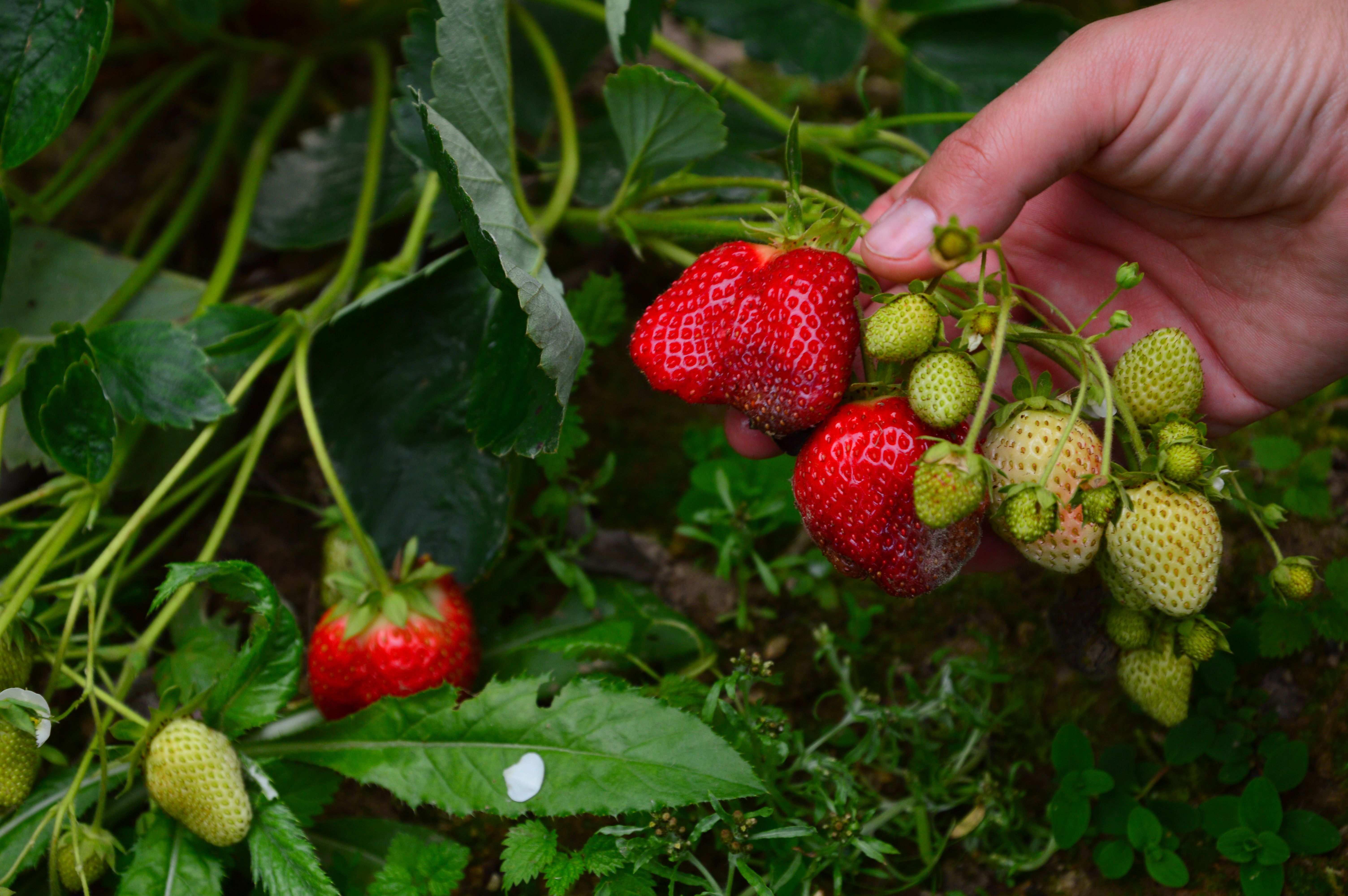 Comment choisir  ses plants de fraisiers