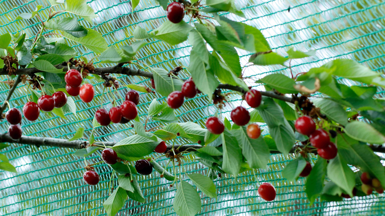 Come proteggere un albero da frutto contro uccelli e insetti