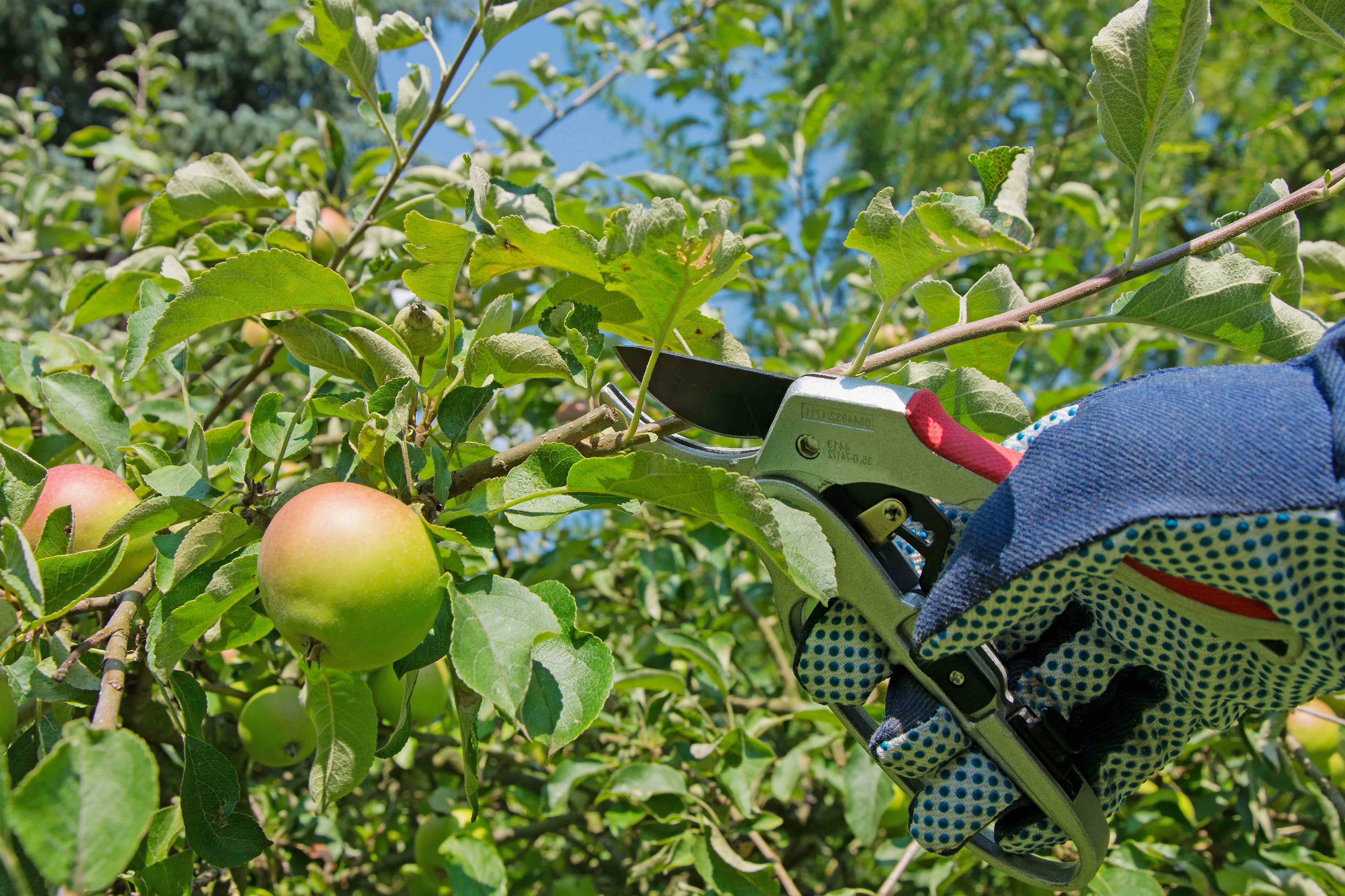 How to prune a fruit tree