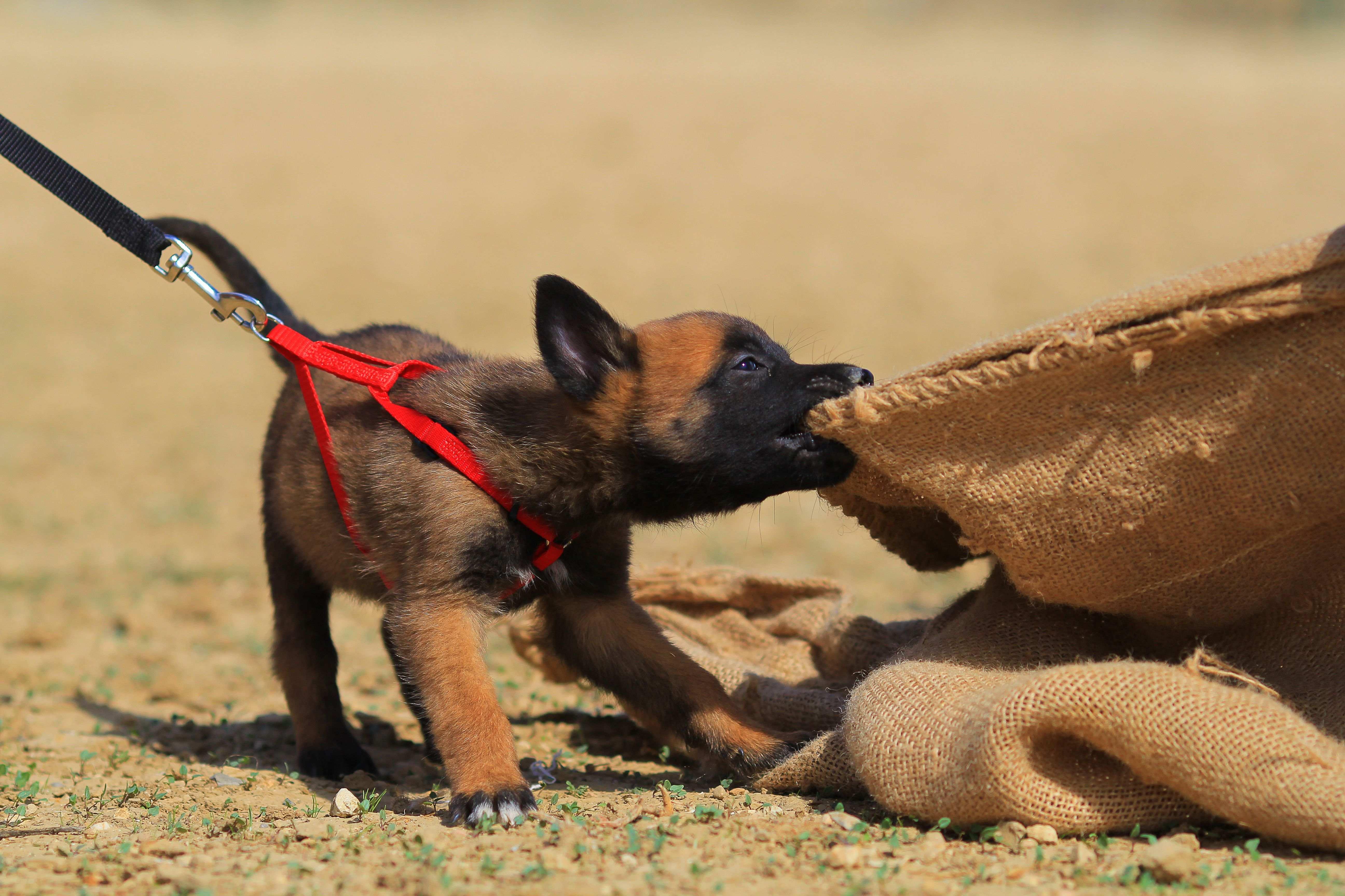 Come scegliere guinzaglio, collare e pettorina per l'addestramento dei cani